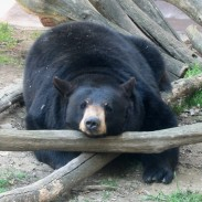 Chocolate can be poisonous to bears in large doses, especially when it's baker's chocolate.