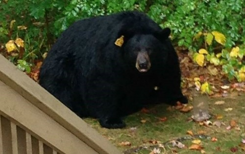 NH Officials Review Bear Bait Regulations after Chocolate ...