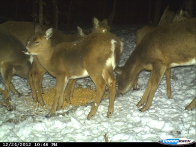 Recreational deer feeding can provide entertainment and benefit the deer, but it can do more harm than good in some cases. What and when you feed and where you put it can have a significant impact on how much good or bad it causes.