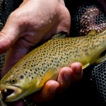 New Jersey biologists are planning to bred new strains of brown and brook trout that are resistant to bacteria.