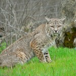 Despite popular support in the House, the Illinois bobcat hunting bill was slapped with a veto on Sunday.