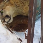 This mountain lion was captured while trying to claim squatter's rights in a Utah cabin.