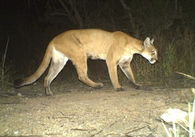 Nebraska wildlife officials announced that there will be no mountain lion season this year, due in part to a high number of females killed in 2014.
