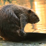 Along with a number of other proposed changes, some lawmakers hope to remove New Jersey's limit on beaver trapping permits.