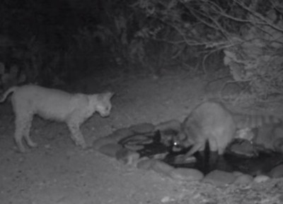 Video Raccoon and Bobcat Face Off over Watering Hole