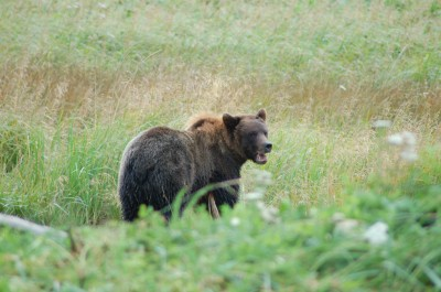 Inquisitive Bear Chases Family of Hikers Ignores Warning Shots
