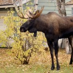 A dog walker found herself on the wrong side of a bull moose last weekend when she was struck and trampled by one in Colorado.