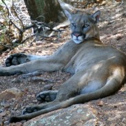After killing a deer, one mountain lion decided against dragging it back into the woods and instead stored its meal under a home's deck.