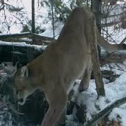This mountain lion was found in Michigan's Upper Peninsula late last year.
