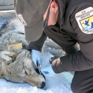 Refuge biologist Eric Cole taking samples from a Pinnacle Peak Pack wolf captured in 2013.