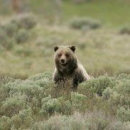 Bears in Yellowstone usually den for about five months, ending in March. This year, however, warm temperatures are already luring grizzlies out.