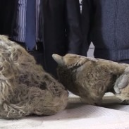 "The remains of this baby woolly rhino, nicknamed ""Sasha"" were excavated by Russian hunters."
