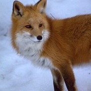 Sierra Nevada red foxes, like this one found in Sonora Pass in 2010, are some of the rarest mammals in North America.