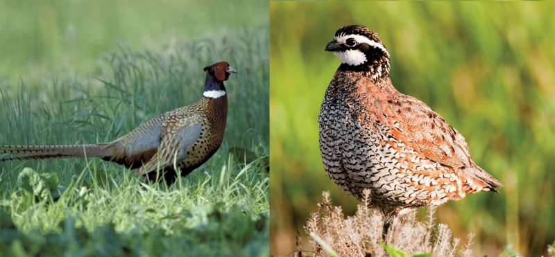 There are many misconceptions regarding upland birds, including the factors causing their decline.
