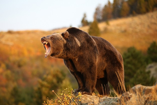 Do you know what to do if you encounter a grizzly?