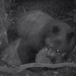 Bear killing