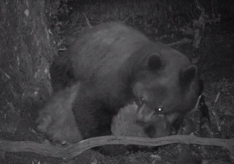 Video Grisly Bear On Bear Killing Caught On Trail Cam