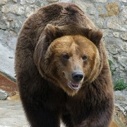 A court ordered the confiscation of two adult male bears in Russia after it came to light that they were addicted to alcohol.