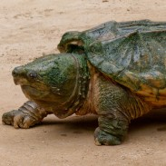 An alligator snapping turtle, not the one caught by Nero.