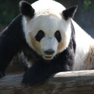 A man in China who was attacked on his property by a panda has successfully sued government officials to pay for his medical bills.