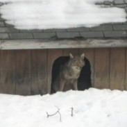 Liora Sofer of Closter, New Jersey says that a pair of coyotes have moved into an abandoned dog house on her property.