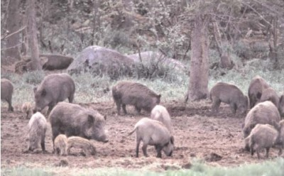 A new bill seeks to lift hog hunting restrictions in Georgia.