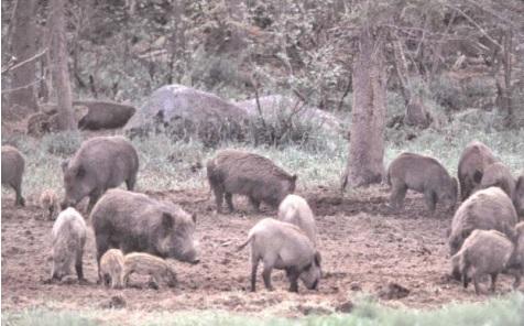A new bill seeks to lift hog hunting restrictions in Georgia.