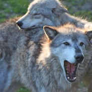 Idaho biologists say that wolves have taken over as the top predator for elk, and are one of the chief reasons for the population's decline.