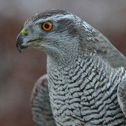 A woman upset with the killing of a duck decides to kill another bird, a federally protected falcon.
