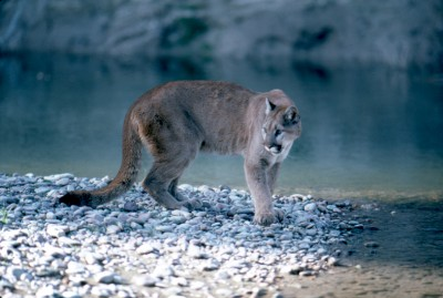 Hunters in New Mexico are debating whether removing protections for mountain lions is a good idea.