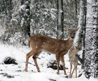 Improper feeding that led to enterotoxemia appears to have caused the deaths of several deer in New Hampshire.