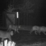 Bob and Tami Sutton captured this photo of a cougar family sauntering through their property.