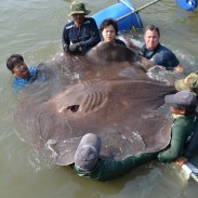 A team of anglers and scientists caught this massive stingray in Thailand. It could very well beat out the current world record.