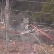 bobcat tracer