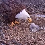eaglefeeding
