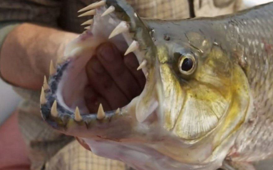 Watch the teeth the 7 most dangerous fish for anglers for Freshwater fish with teeth
