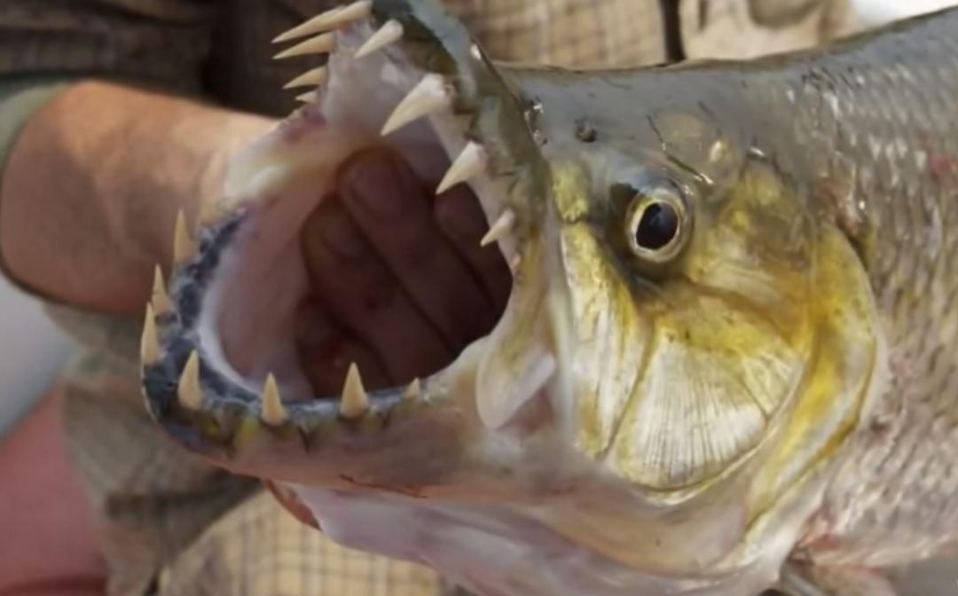 Pike Fish Teeth