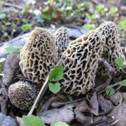 Are you prepared for morel season? If you live in Canada, you may have a chance to join in on the largest morel harvest in history.