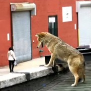 A coyote hops on top of a  NYC bar and drinks in the view. Maybe they were out of its favorite craft beer?