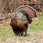A hen turkey in full strut.