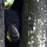 It seems that sleeping all winter hasn't help one black bear lose any weight, especially after it got stuck between two buildings while fleeing from police.