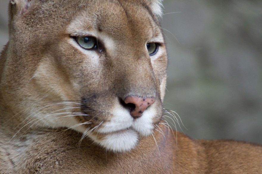 Mountain lions are rebounding in Alberta and the big cats and reclaiming long-lost territories.