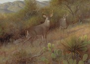 22-Coues' Whitetail Deer_PG_360-371_lr