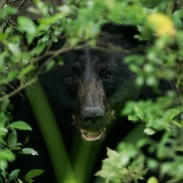 A Florida black bear just couldn't say no to chocolate.