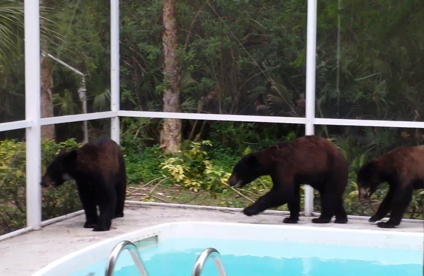 Video black bears break into florida homeowner 39 s pool to for Florida pool show 2015