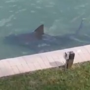 backyardshark