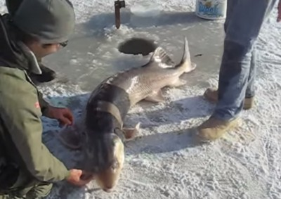 Video Ice Fisherman Pulls in a Massive Sturgeon by Hand