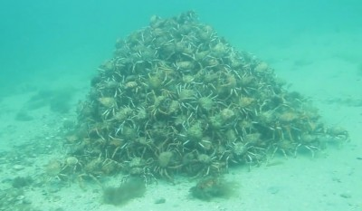Video This Spider Crab Pyramid Will Make Your Skin Crawl