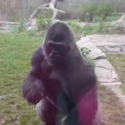 gorillagorilla