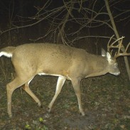 Research using radio collars has shown that bucks take significant vacations from their home ranges, especially during the rut. Having an unknown buck show up on your trail camera is a sign that a buck is on the move. Image courtesy Bernie Barringer.